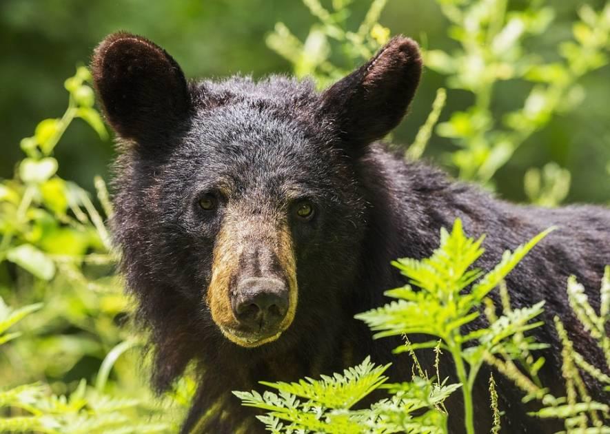 Une chasse de l'ours réussie grâce à une flèche décochée au sol