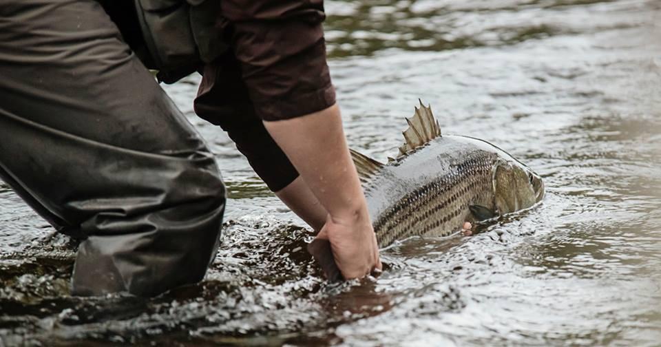 Pourquoi ne peut-on pas pêcher le bar rayé dans la rivière Saguenay?