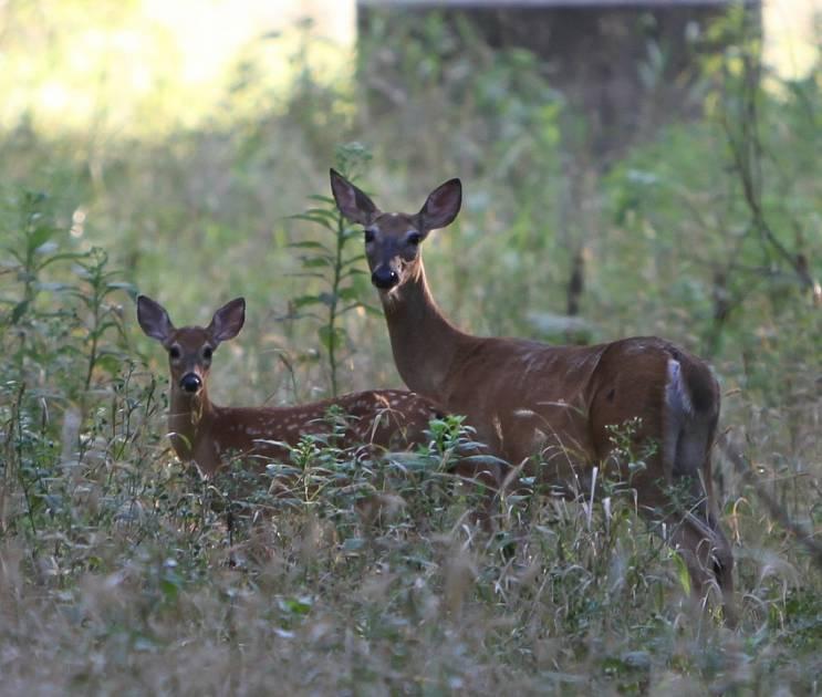 Mise bas des cervidés - Ne pas déranger le nid familial ni toucher le nouveau-né
