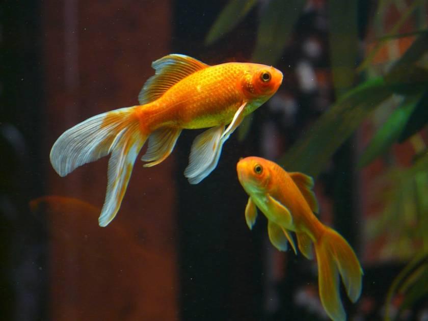 Ne jetez jamais vos poissons rouges dans les toilettes ou les cours d'eau