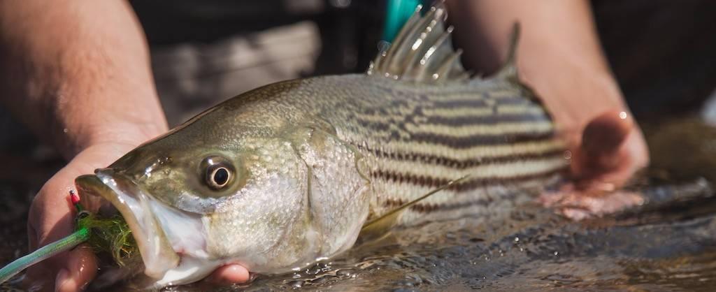 Les pêcheurs de saumon invités à signaler la présence de bars rayés
