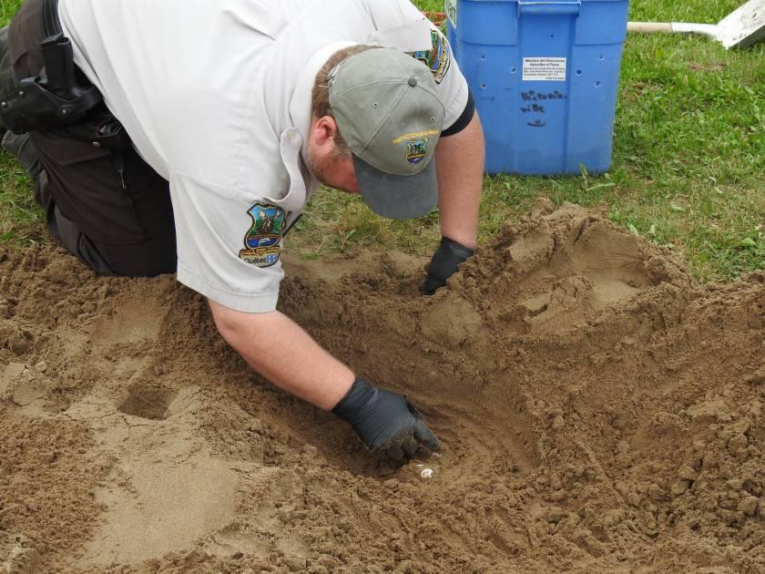 Des agents relocalisent des œufs de tortue serpentine à Victoriaville