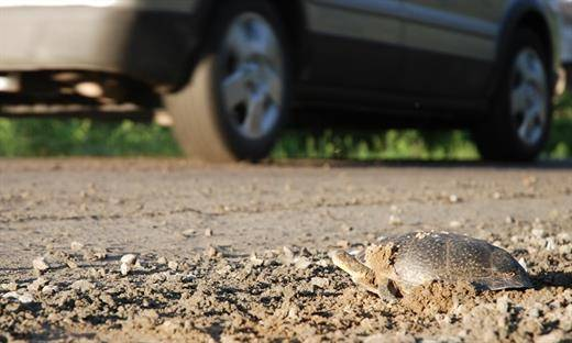 Québec demande de signaler la présence de tortues