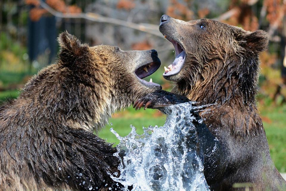Des oursons orphelins du Montana éliront domicile au Zoo de Saint-Félicien
