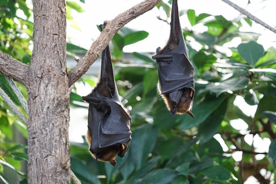 Surveillance des chauves-souris sur la Côte-Nord et sur l'île d'Anticosti