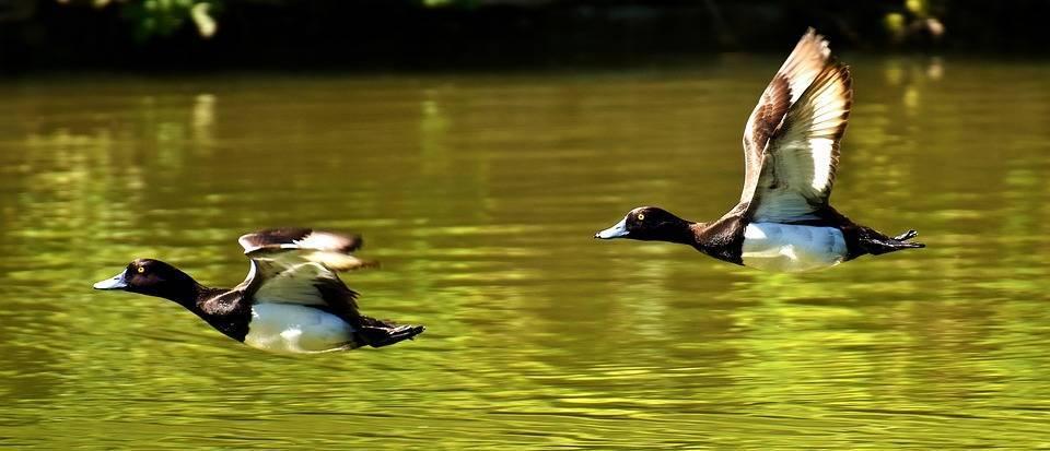 Les chasseurs d'oiseaux migrateurs doivent détenir un permis fédéral