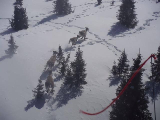 Une opération pour assurer la protection du caribou forestier