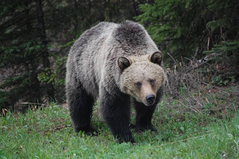 Un ours blesse une mère et son fils adulte dans un parc en Alberta