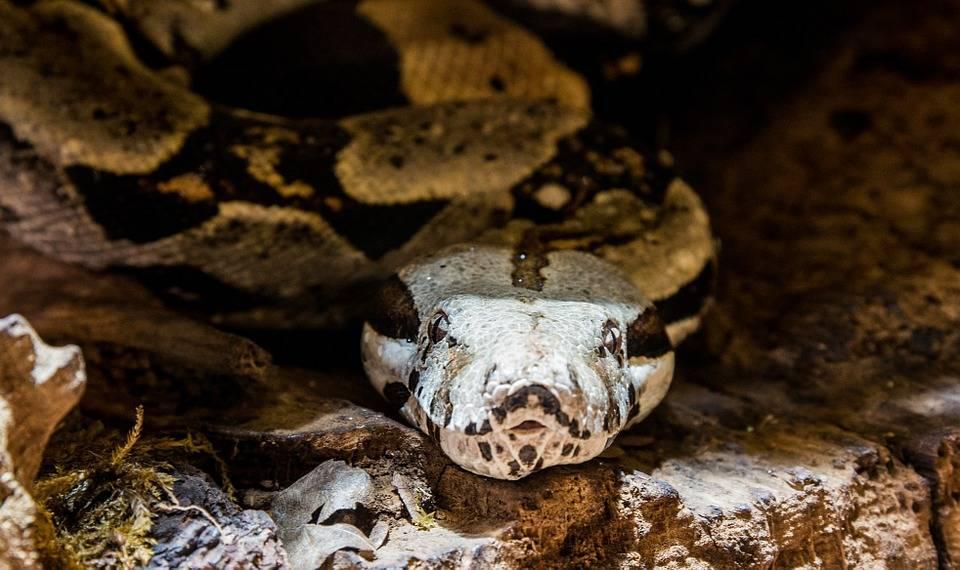 Des permis de garde exigés pour tous les propriétaires de grands serpents