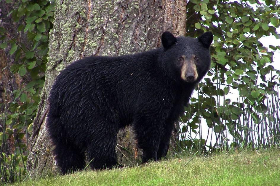 À l'approche de l'automne, les ours peuvent s'aventurer près des humains