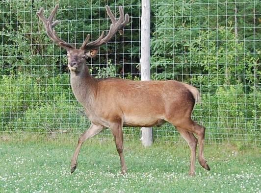Maladie débilitante des cervidés: triste nouvelle pour l'industrie de la chasse