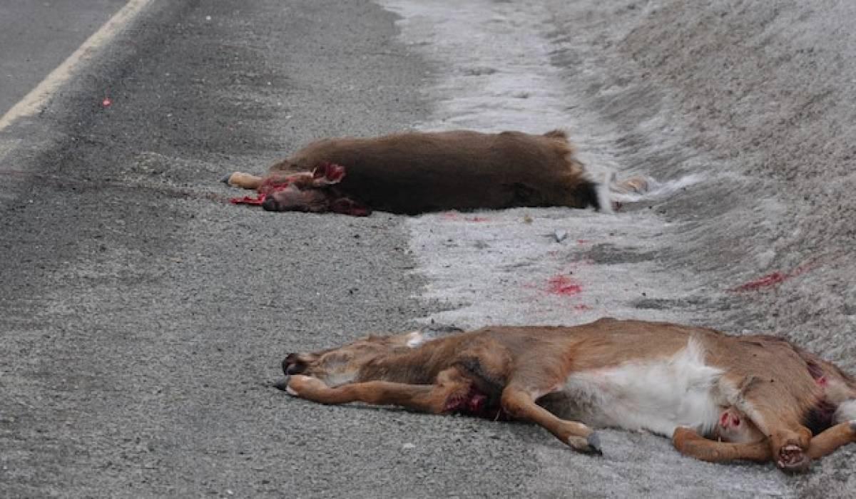 Sensibilisation à la forte présence des cerfs dans la Baie-des-Chaleurs
