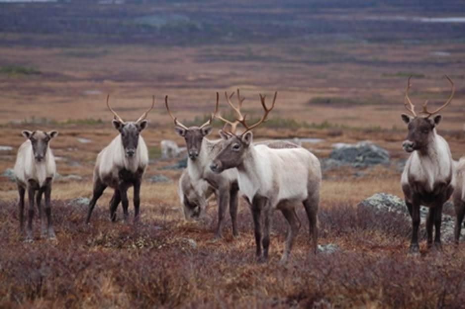Déclin de la harde de caribous de la rivière George de 99 % depuis 2001