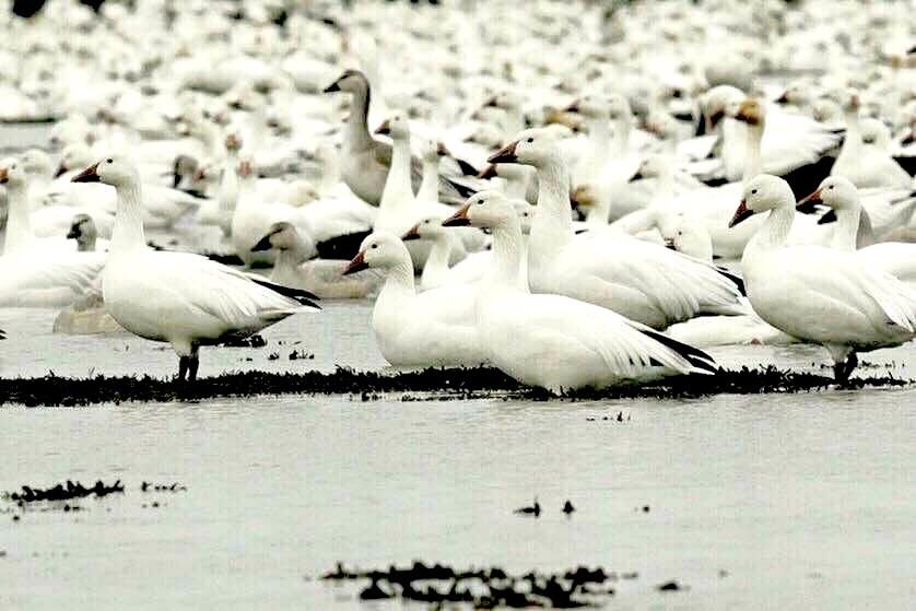 Les oies des neiges envahissent Cap Tourmente, alors que la réserve a 40 ans