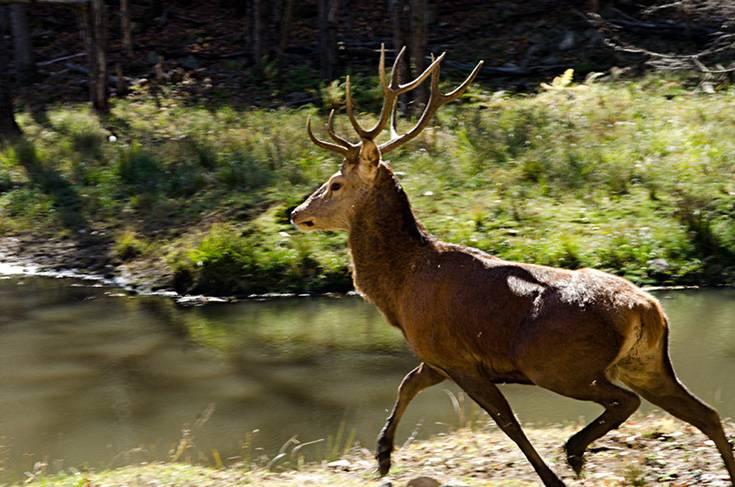 Les 3000 cerfs du troupeau des Laurentides seront abattus progressivement