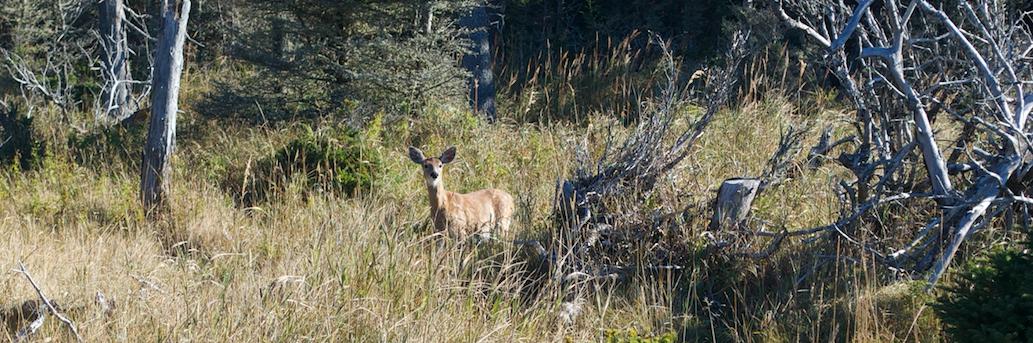 SÉPAQ-Anticosti est en attente d'un premier inventaire du cerf en 13 ans