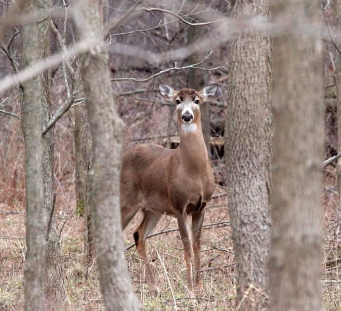La FédéCP souhaite recueillir l'opinion des chasseurs de cerfs