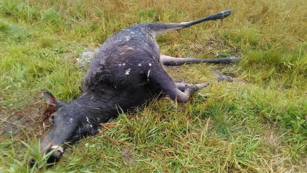 Mort suspecte d'un orignal à La Sarre en Abitibi-Témiscamingue