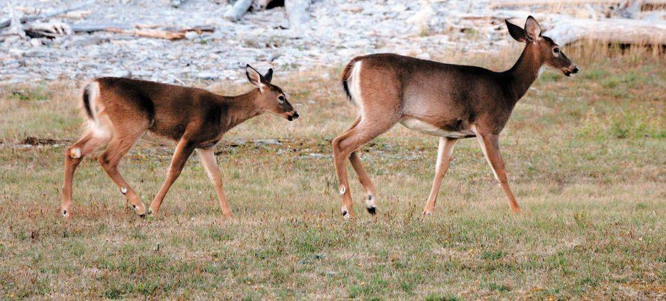 La fièvre du chevreuil atteint des dizaines de milliers de chasseurs au Québec