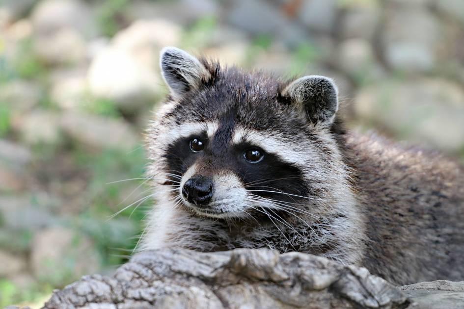 Plusieurs éléments à consulter dans le plan de gestion des animaux à fourrure