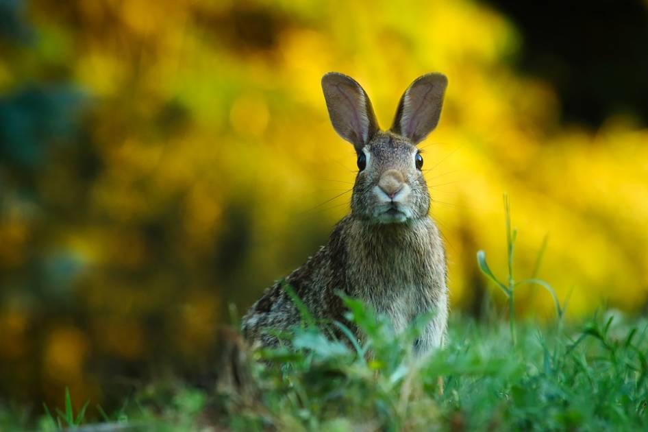 Le lapin à queue blanche, un petit gibier à l'allure domestique !