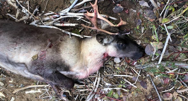 Un caribou des bois victime de braconnage en Gaspésie