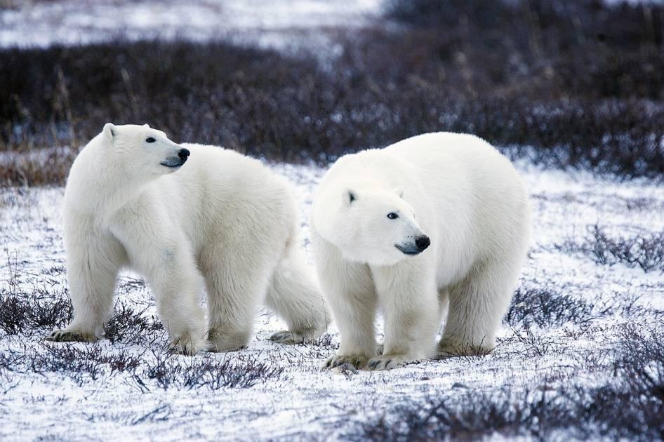 Il y aurait trop d'ours polaires dans certaines parties du Nunavut