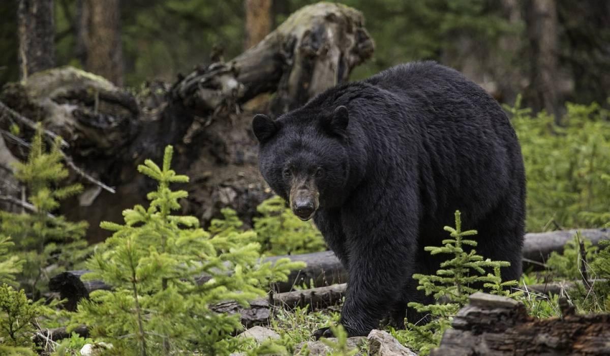 Vivez une chasse à l'ours inoubliable avec Bernard Gagné
