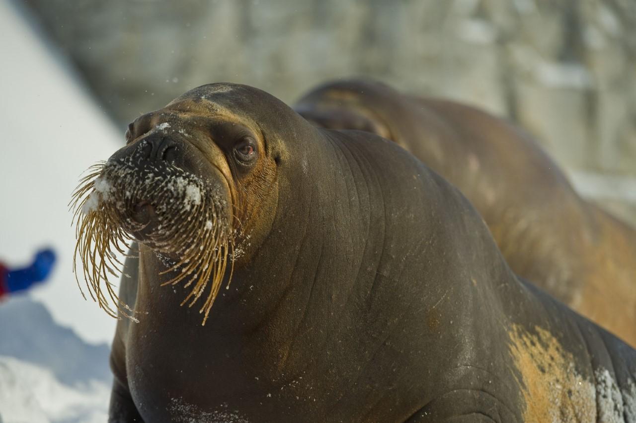 L'Aquarium se croise les doigts pour un autre bébé morse