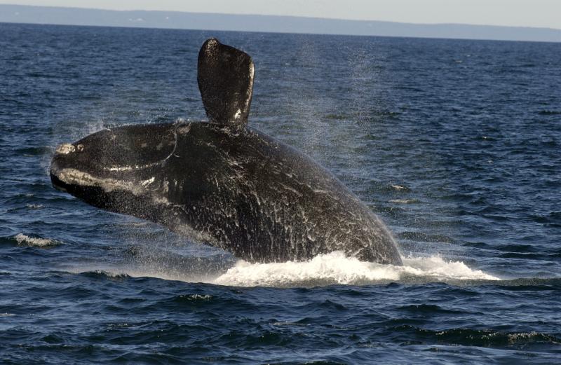 Près de la moitié de toutes les baleines noires dans le golfe du Saint Laurent