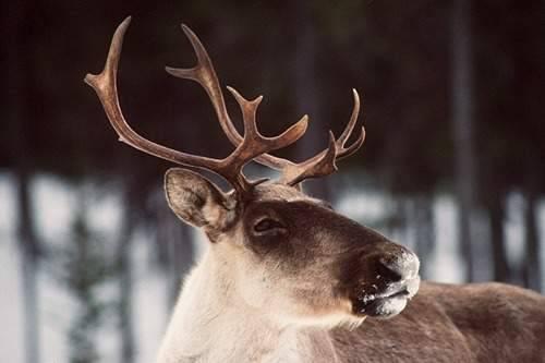 Quatre caribous victimes de braconnage sur la Côte-Nord