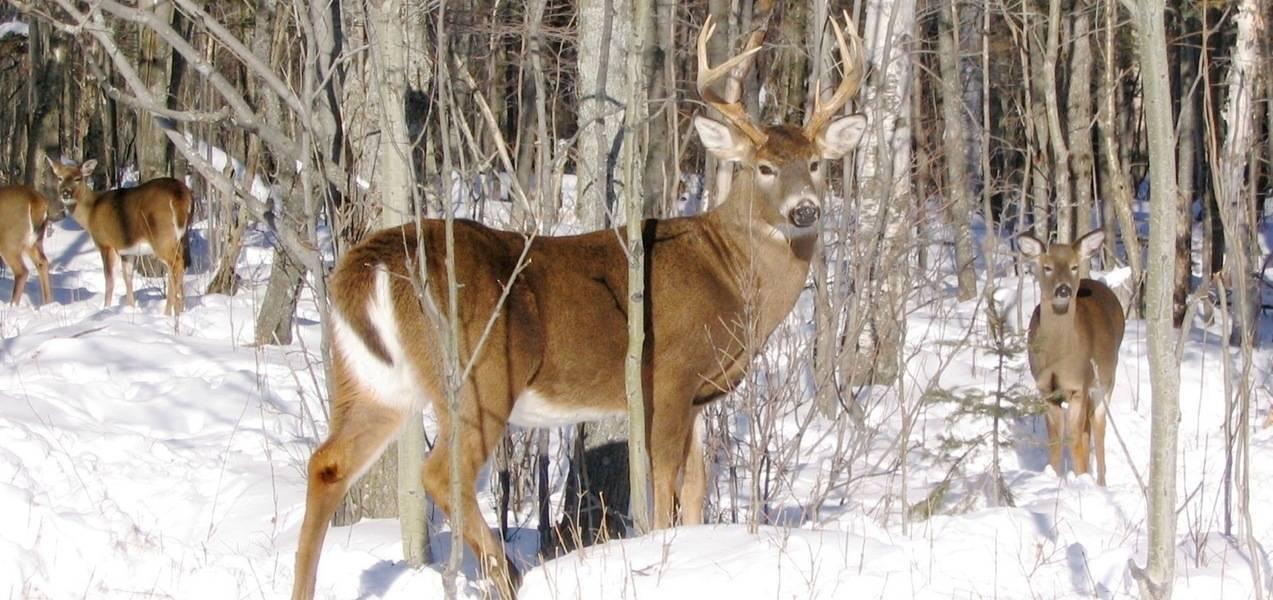 Un autre cas de braconnage impliquant un cerf de Virginie