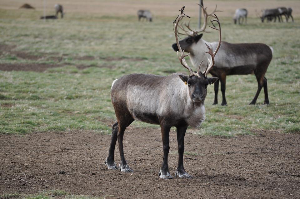 Bien peu d'initiatives concrètes pour le caribou boréal, admet Ottawa