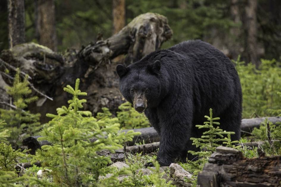L'ours noir doit se nourrir de diverses espèces de saumons pour rester en santé