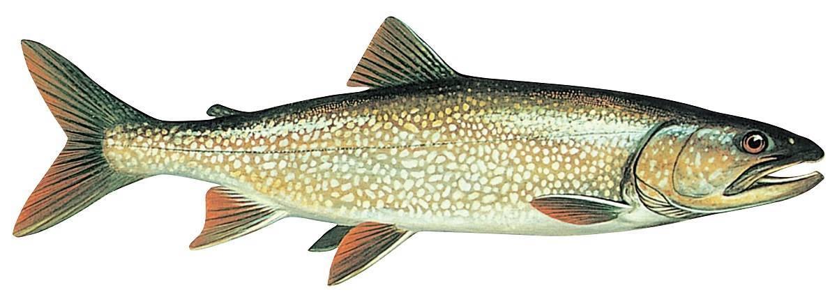 Pêche au touladi ou à la truite grise : libérez vos prises sans délai
