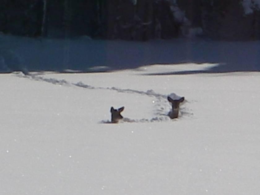 Le cerf à travers un hiver neigeux et place au 13e Encan Faune Nature