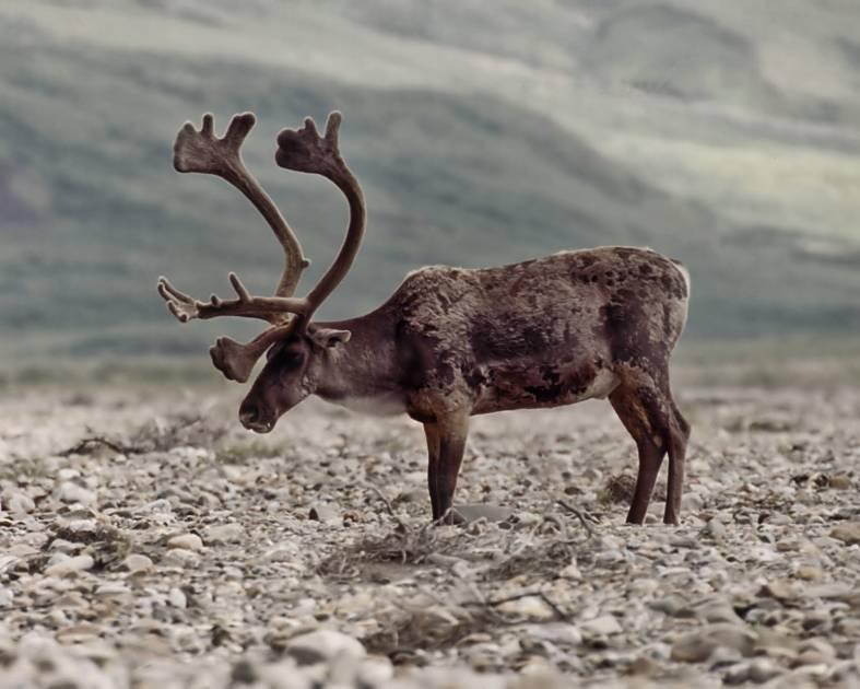 Loi sur les espèces en péril: Ottawa est de plus en plus traîné en cour