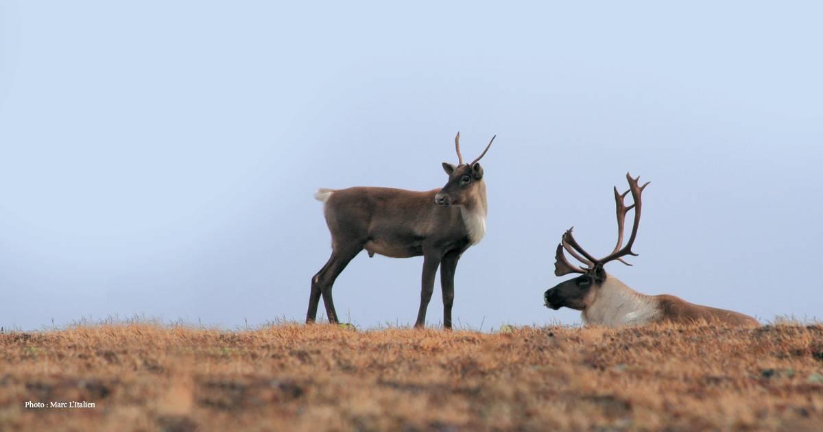 Un 3e plan pour sauver le caribou dans le parc de la Gaspésie