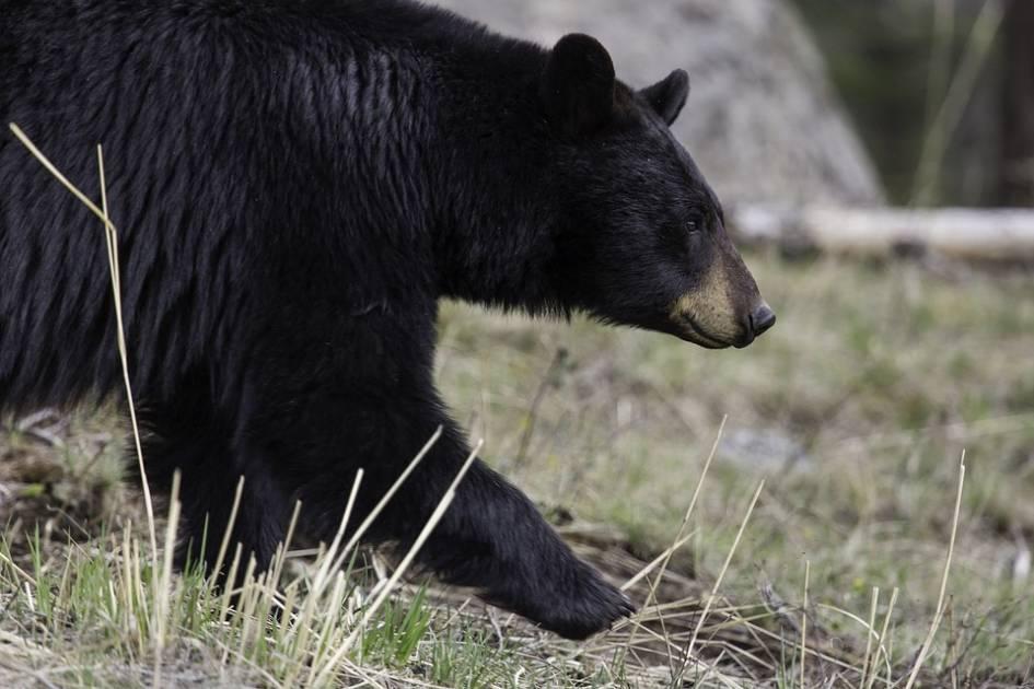Chasseurs Généreux paye les frais de débitage pour un don d'ours entier