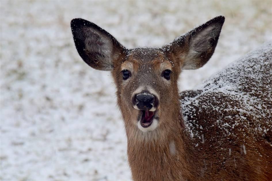 Des résidents de Longueuil se plaignent de la surpopulation des cerfs