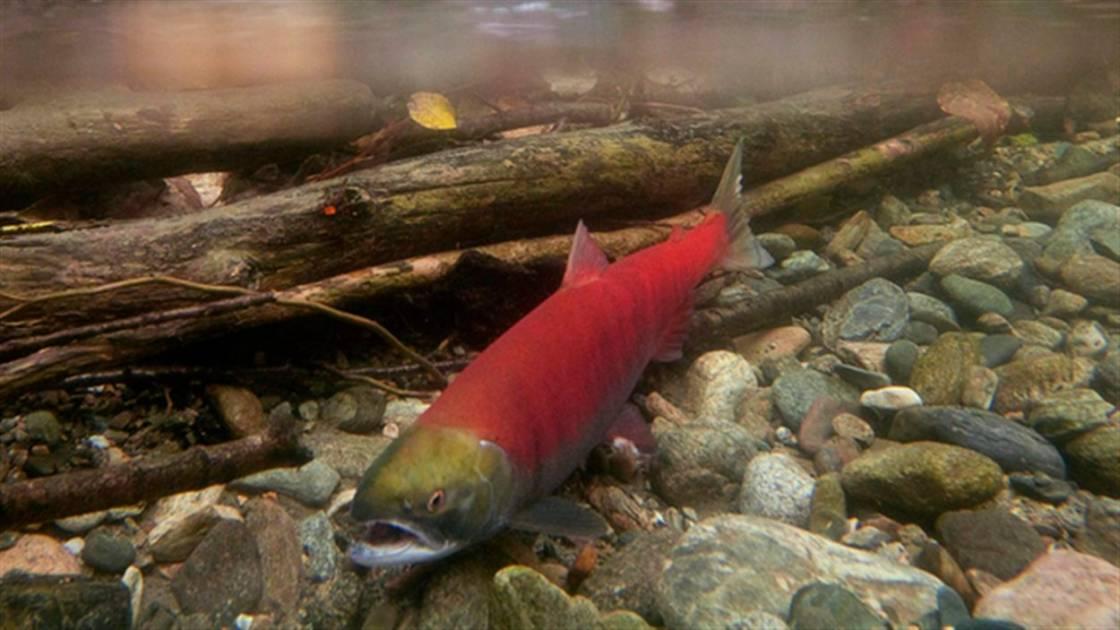 Un programme pour protéger l'habitat du saumon sauvage et rétablir les stocks