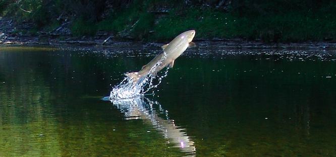L'importance d'un Forum sur les écosystèmes du saumon!
