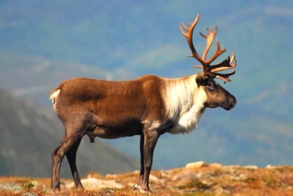 Un caribou de la Gaspésie aperçu à 200 kilomètres de son habitat naturel