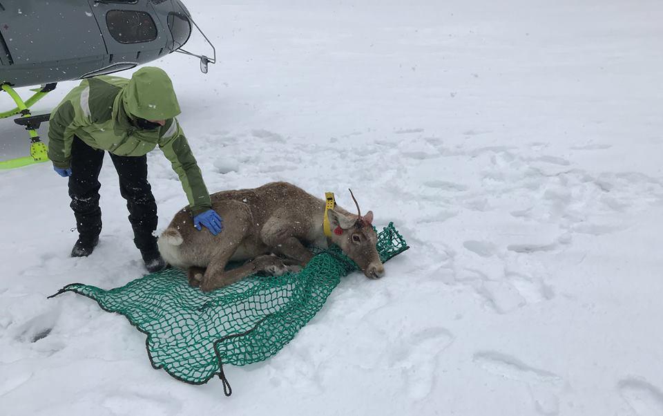 Le caribou égaré capturé et relocalisé dans le parc national de la Gaspésie