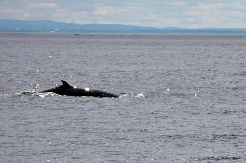 Des chercheurs de l'U. Laval étudieront la biodiversité du fleuve Saint-Laurent