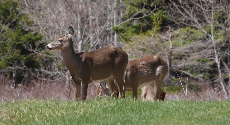 Le déclin du cerf de la zone 2 Est préoccupe les chasseurs!