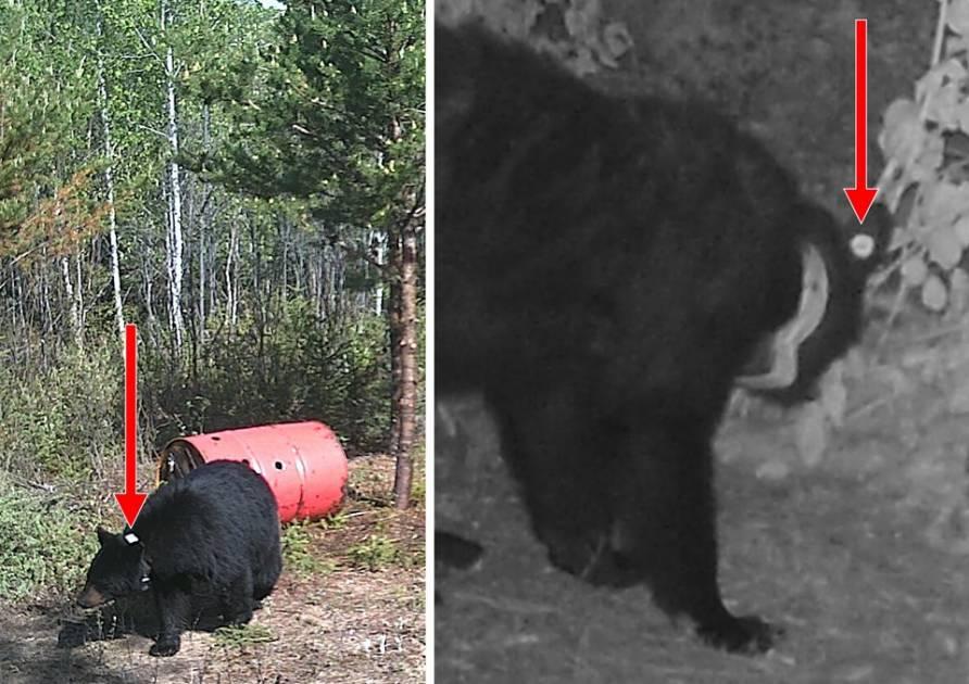 Une étude sur les populations d'ours noir se poursuit dans trois régions