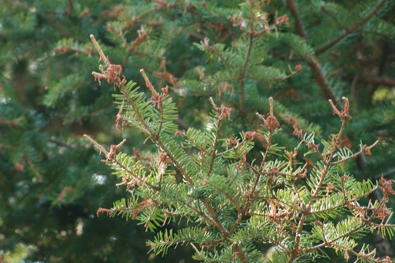 Québec poursuit la lutte contre la tordeuse des bourgeons de l'épinette