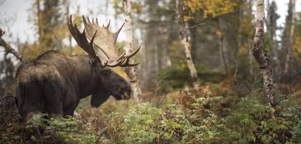 Un Québécois victime de l'interdit de chasse de l'orignal aux non-résidents