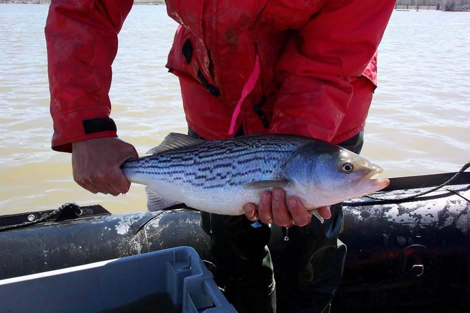 La pêche au bar rayé permise dans certaines rivières